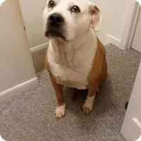 Pit Bull Terrier Mix Dog for adoption in Baltimore, Maryland - Dakota (COURTESY POST)