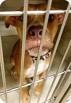 Australian Cattle Dog/American Staffordshire Terrier Mix Dog for adoption in Melrose, Florida - Chloe