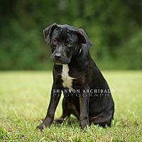 Rottweiler/Labrador Retriever Mix Puppy for adoption in Macon, Georgia - June