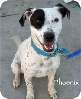 Dalmatian Mix Puppy for adoption in Mandeville Canyon, California - Phoenix 2