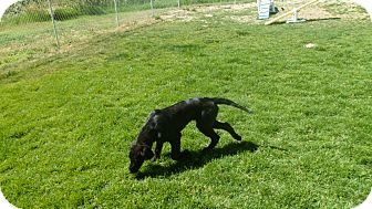 Setter (Unknown Type) Mix Puppy for adoption in Jerome, Idaho - Schnook #5057