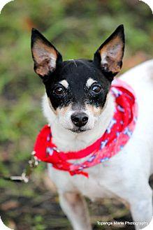 Rat Terrier Mix Dog for adoption in Boynton Beach, Florida - Marco
