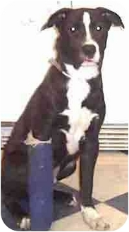 Border Collie/Harrier Mix Dog for adoption in Forest Hills, New York - Pups
