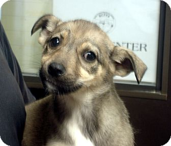 German Shepherd Dog Mix Puppy for adoption in Greencastle, North Carolina - Revah