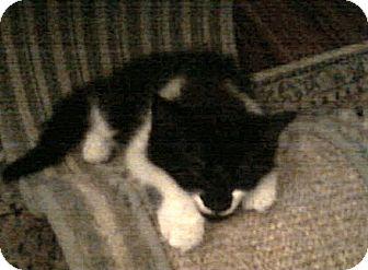 Domestic Mediumhair Kitten for adoption in Seminole, Florida - Lacretia McBeard