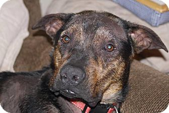Mastiff Mix Dog for adoption in Hatifeld, Pennsylvania - Honor