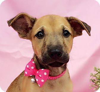 Labrador Retriever Mix Puppy for adoption in Castro Valley, California - Raya