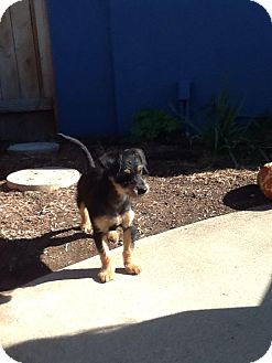 Terrier (Unknown Type, Small) Mix Puppy for adoption in Rancho Cucamonga, California - Ben