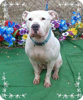 American Bulldog Mix Dog for adoption in Marietta, Georgia - SNOW