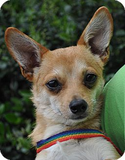 Chihuahua Mix Dog for adoption in Atlanta, Georgia - Cody
