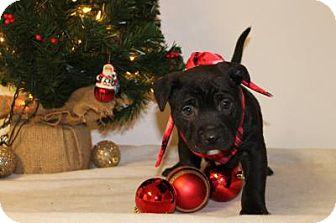 Boxer/Labrador Retriever Mix Dog for adoption in Northville, Michigan - C14 Joy