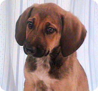 Labrador Retriever/Weimaraner Mix Puppy for adoption in Maynardville, Tennessee - Marie