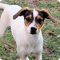 Adopt A Pet :: Dodger - Naugatuck, CT