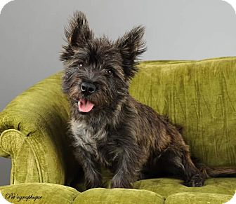 Cairn Terrier Puppy for adoption in Henderson, Nevada - Fergus