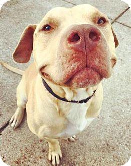 American Pit Bull Terrier Mix Dog for adoption in Oak Park, Illinois - Laszlo