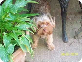 Yorkie, Yorkshire Terrier/Toy Poodle Mix Dog for adoption in Buffalo, New York - Willie