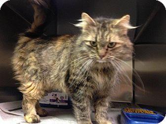 Domestic Longhair Cat for adoption in North Wilkesboro, North Carolina - Friday
