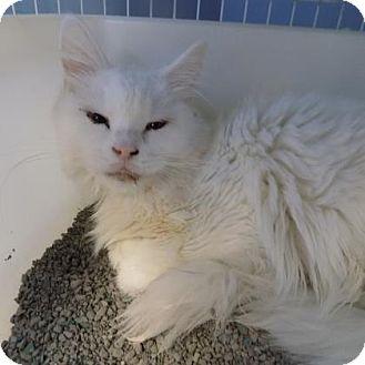 Domestic Mediumhair Cat for adoption in Edwardsville, Illinois - Winona