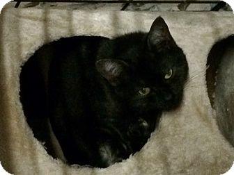 Domestic Shorthair Cat for adoption in Byron Center, Michigan - Sinlyn