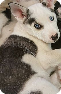 Siberian Husky/Border Collie Mix Puppy for adoption in Apple valley, California - Otter Pup