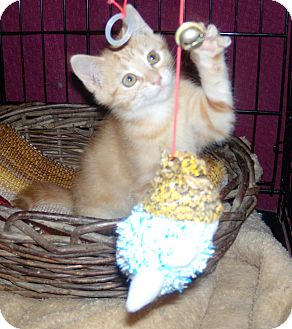 Domestic Shorthair Kitten for adoption in Buford, Georgia - Carol-$70.00 or 2 for 1 !