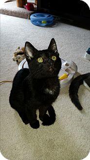 Domestic Shorthair Kitten for adoption in Kokomo, Indiana - FRANKIE
