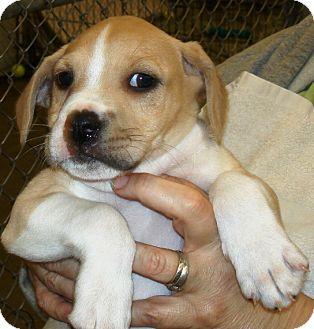 Terrier (Unknown Type, Medium)/Hound (Unknown Type) Mix Puppy for adoption in Kalamazoo, Michigan - Hulk
