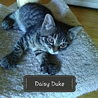 Adopt A Pet :: Daisy Duke - Salem, OH