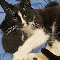 Domestic Shorthair Cat for adoption in Flint HIll, Virginia - WHISKEY