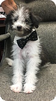 Maltese/Poodle (Miniature) Mix Puppy for adoption in Montclair, California - Chester