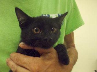 Domestic Shorthair/Domestic Shorthair Mix Cat for adoption in Palm Coast, Florida - Tucker