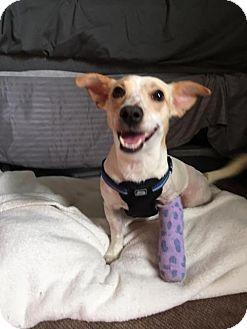 Chihuahua Mix Dog for adoption in New York, New York - Jaime