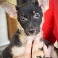Adopt A Pet :: Ibiza - DFW, TX