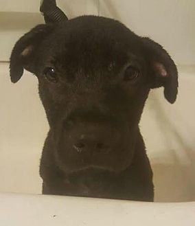 American Pit Bull Terrier/Shar Pei Mix Puppy for adoption in Boston, Massachusetts - Buzz