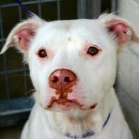 Adopt A Pet :: Mila - justin, TX
