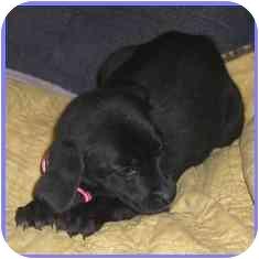 Labrador Retriever Mix Puppy for adoption in Arlington, Virginia - Taurus