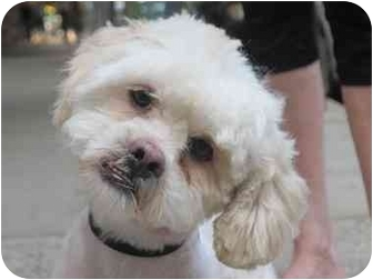 Shih Tzu/Poodle (Miniature) Mix Dog for adoption in Long Beach, New York - Frankie