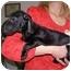 Photo 4 - Dachshund Puppy for adoption in West Richland, Washington - Jazz
