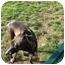Photo 2 - Italian Greyhound Dog for adoption in Croton, New York - Maia and Sasha - Adopted