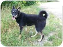 Husky Mix Dog for adoption in Ste-Agathe des Monts, Quebec - Lea