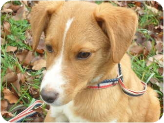 Collie/Spaniel (Unknown Type) Mix Puppy for adoption in Covington, Kentucky - Lance