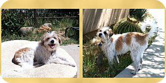 Jack Russell Terrier Mix Dog for adoption in Scottsdale, Arizona - Scarlett