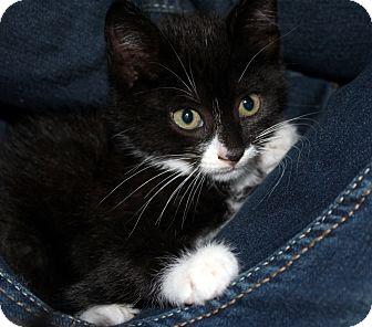 Domestic Shorthair Kitten for adoption in Brimfield, Massachusetts - Ignitor
