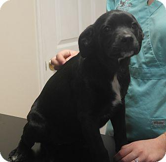 Labrador Retriever Mix Puppy for adoption in Seneca, South Carolina - Cindy