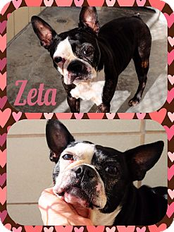 Boston Terrier Mix Dog for adoption in Corpus Christi, Texas - Zeta