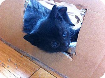 Domestic Shorthair Kitten for adoption in Germantown, Ohio - Sarabi