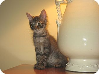 Domestic Mediumhair Kitten for adoption in Hamilton, New Jersey - SWEET PEA - 2014