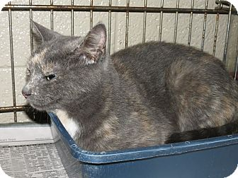 Domestic Shorthair Cat for adoption in Henderson, North Carolina - Hunter