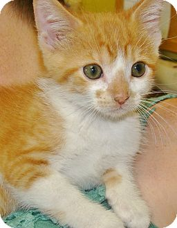 Domestic Mediumhair Kitten for adoption in Henderson, Kentucky - cheddar