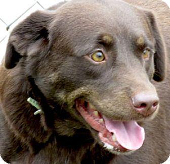 Labrador Retriever Mix Dog for adoption in Hardinsburg, Kentucky - MOLLY
